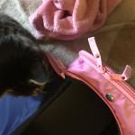 ウチの猫ロミちゃん。避妊手術の時の事