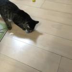サッカー??ボール遊びする猫ロミちゃん♪