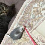 家猫ロミちゃんと白ネズのおもちゃ