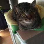 猫のお出迎えは玄関まで来てくれる!?ロミちゃんは…
