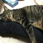 安心しきった猫の寝姿。ロミちゃんゴロゴロ寝てばっか