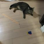 ウチの猫ロミちゃんが人のトイレを邪魔をする