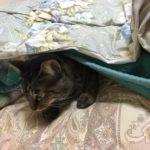 猫は布団大好き!ロミちゃんは今日も布団の中から