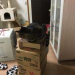 ただの箱に喜ぶ猫。遊び大好きロミちゃん
