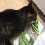 買い物袋から頭をだした大根の葉っぱ食べる猫、再び