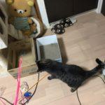 ウチの家猫ロミちゃんがくわえて引っ張る物