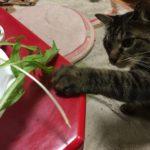 ウチの猫、ロミちゃんのご褒美は野菜。水菜食べたよ