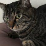ウチの猫、甘えんぼベッタリ娘。膝の上でイカ耳