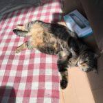 お腹見せすぎ。ウチの猫ロミちゃんゴロゴロしてばっか。