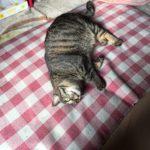 猫の膀胱炎になったロミちゃん、トイレを嫌がるように…