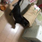 ウチの猫ロミちゃん、袋に歓喜!したのか…?
